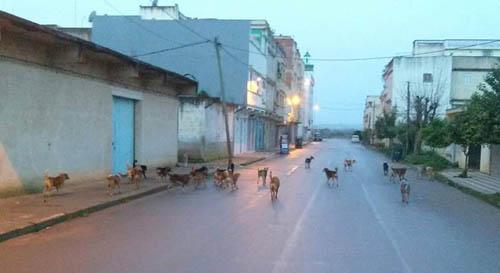الكلاب المتشردة بالقصر الكبير أصبحت تشكل خطرا على  الساكنة