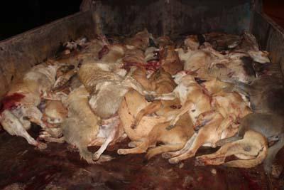 فيديو: قتل الكلاب الضالة بالقصر الكبير