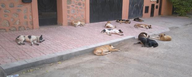القصر الكبير : حملة واسعة لمحاربة الكلاب الضالة باستعمال الرصاص الحي