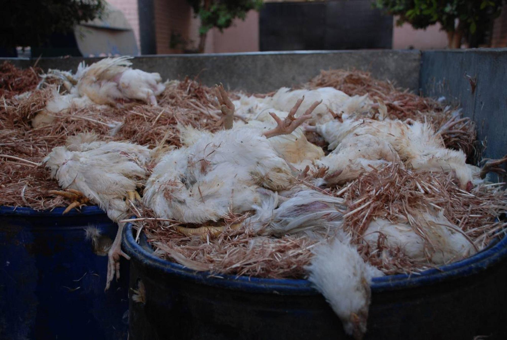 فضيحة:ساكنة العرائش تأكل دجاجا فاسدا…يُصعق بالكهرباء وتُطحن عظامه لتُصبح كفتة