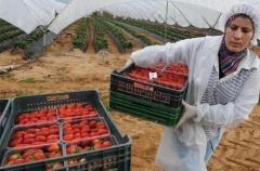 زراعة الفواكه الحمراء تزدهر بمنطقة اللوكوس